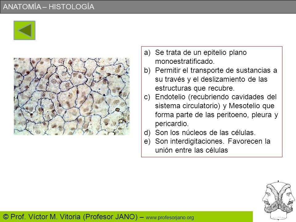 ANATOMÍA – HISTOLOGÍA © Prof. Víctor M. Vitoria (Profesor JANO) – www.profesorjano.org a)Identifica lo más precisamente posible el tejido. b)¿Qué func