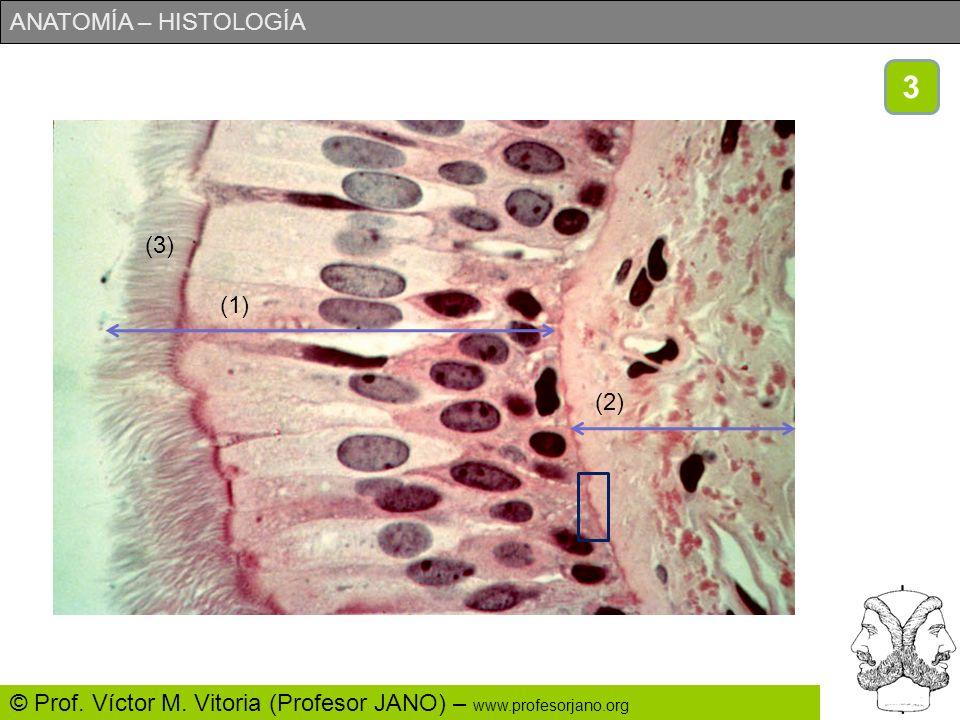 ANATOMÍA – HISTOLOGÍA © Prof. Víctor M. Vitoria (Profesor JANO) – www.profesorjano.org a)Se trata de un epitelio plano monoestratificado. b)Permitir e