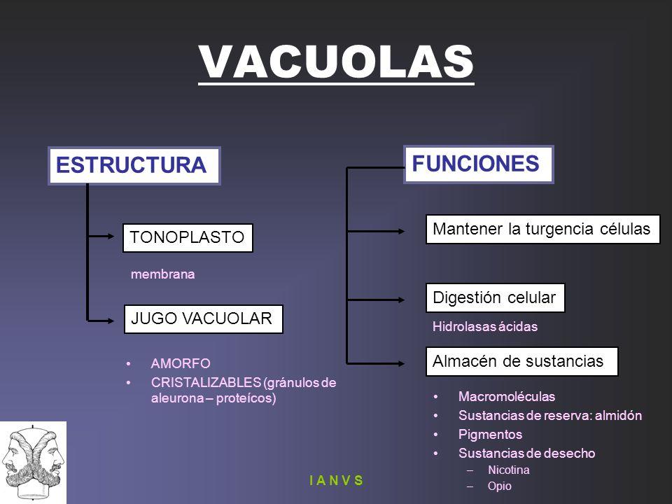 VACUOLAS ESTRUCTURA FUNCIONES TONOPLASTO JUGO VACUOLAR Mantener la turgencia células Digestión celular Almacén de sustancias Macromoléculas Sustancias