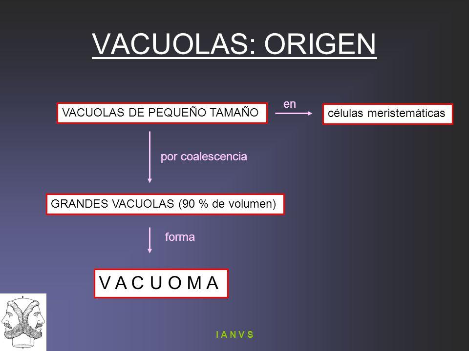 I A N V S VACUOLAS: ORIGEN VACUOLAS DE PEQUEÑO TAMAÑO GRANDES VACUOLAS (90 % de volumen) V A C U O M A por coalescencia forma células meristemáticas e