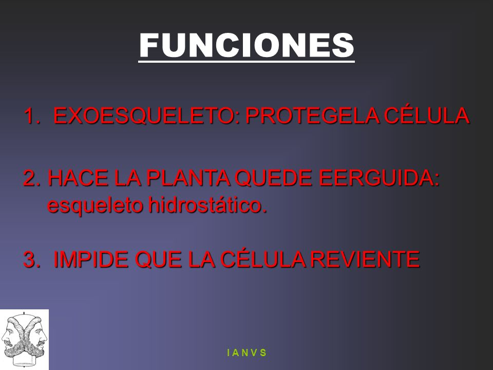 I A N V S FUNCIONES 1. EXOESQUELETO: PROTEGELA CÉLULA 2. HACE LA PLANTA QUEDE EERGUIDA: esqueleto hidrostático. esqueleto hidrostático. 3. IMPIDE QUE