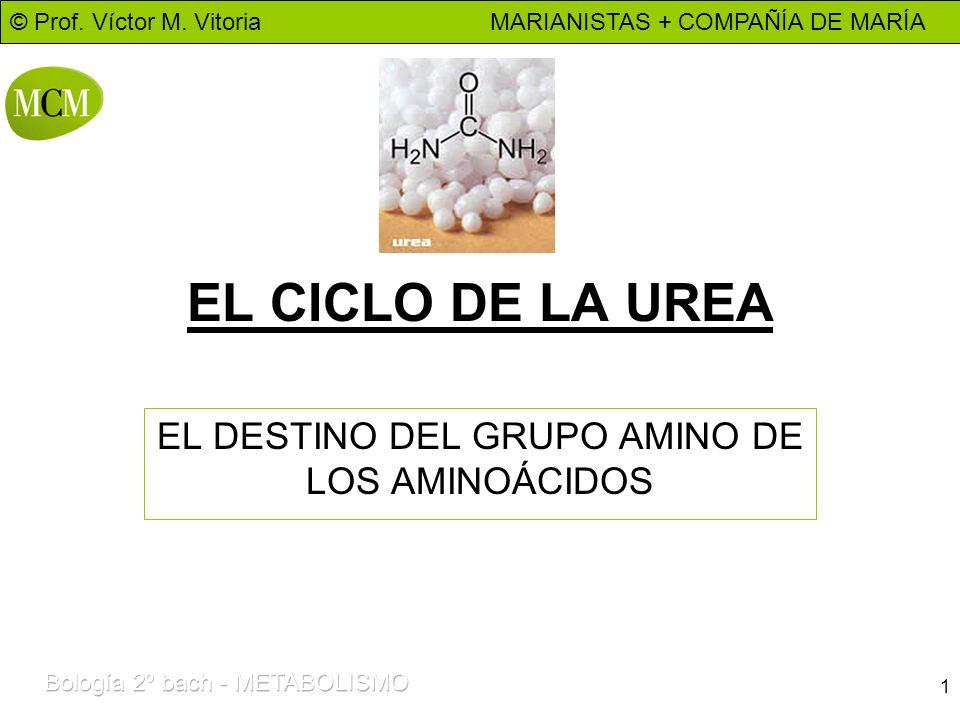 © Prof. Víctor M. Vitoria MARIANISTAS + COMPAÑÍA DE MARÍA 1 EL CICLO DE LA UREA EL DESTINO DEL GRUPO AMINO DE LOS AMINOÁCIDOS