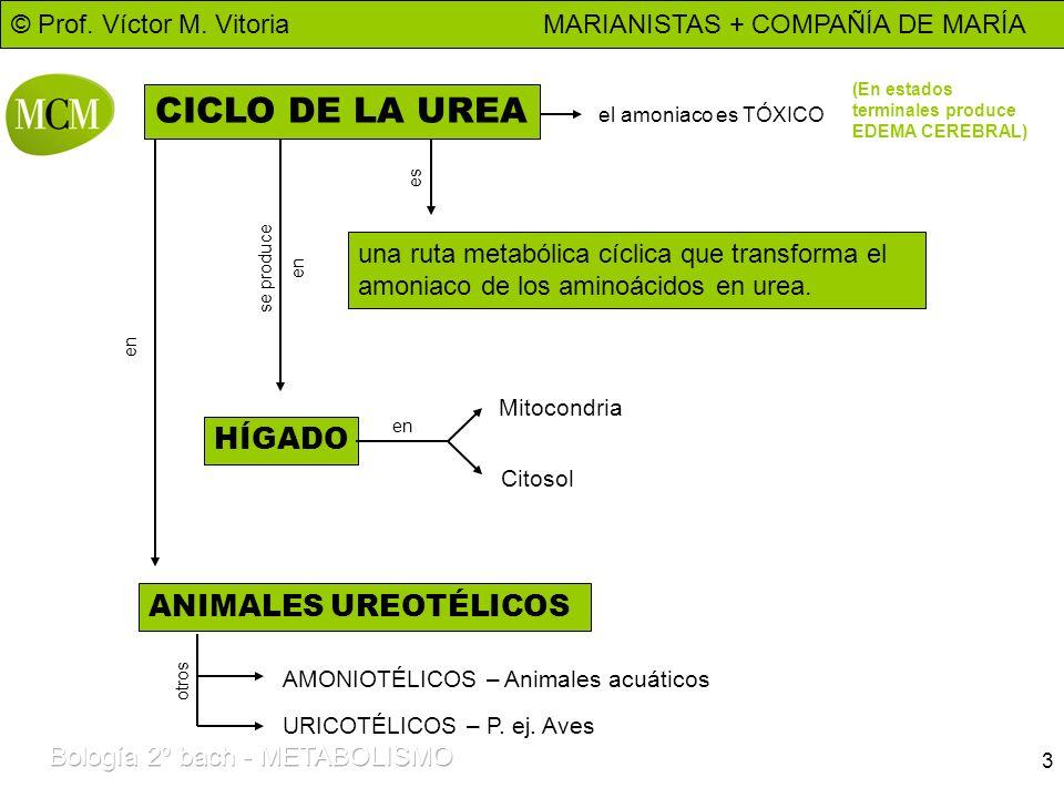 © Prof. Víctor M. Vitoria MARIANISTAS + COMPAÑÍA DE MARÍA 3 CICLO DE LA UREA una ruta metabólica cíclica que transforma el amoniaco de los aminoácidos