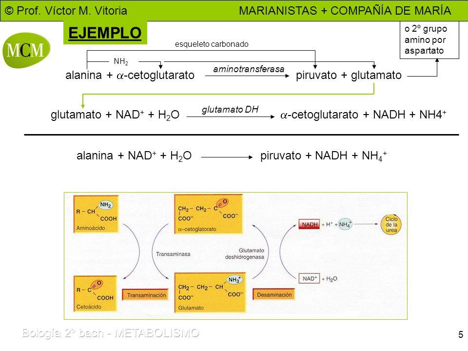 © Prof. Víctor M. Vitoria MARIANISTAS + COMPAÑÍA DE MARÍA 5 EJEMPLO alanina + -cetoglutarato piruvato + glutamato aminotransferasa glutamato + NAD + +