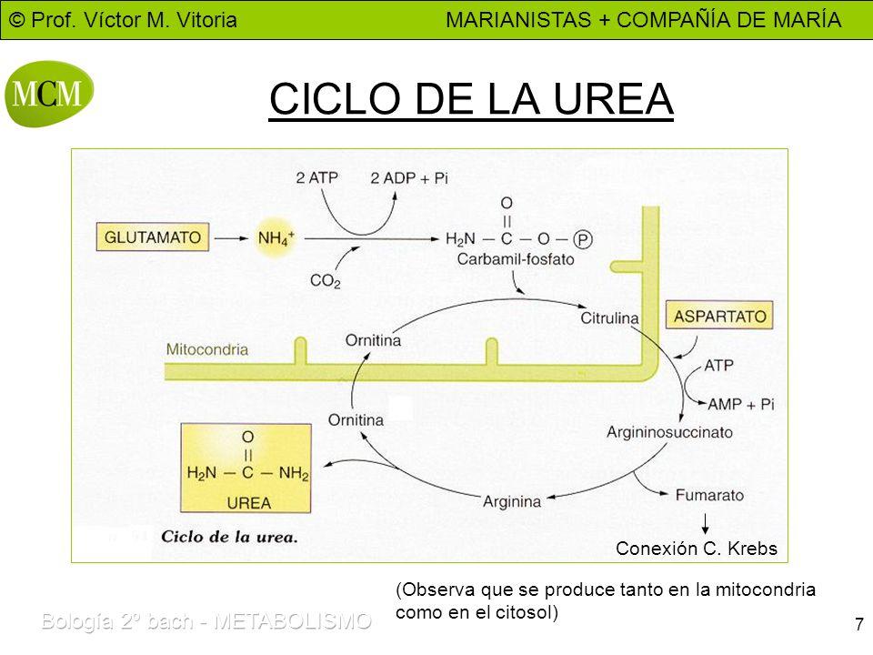 © Prof. Víctor M. Vitoria MARIANISTAS + COMPAÑÍA DE MARÍA 7 CICLO DE LA UREA (Observa que se produce tanto en la mitocondria como en el citosol) Conex