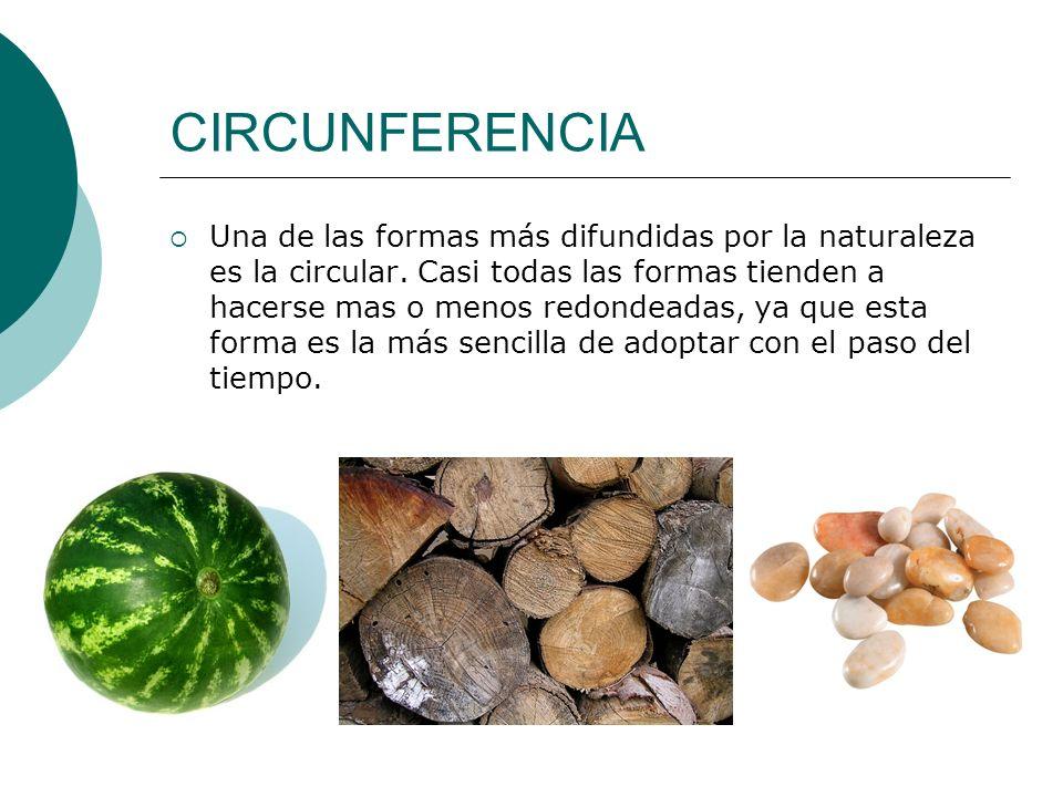 CIRCUNFERENCIA Una de las formas más difundidas por la naturaleza es la circular. Casi todas las formas tienden a hacerse mas o menos redondeadas, ya