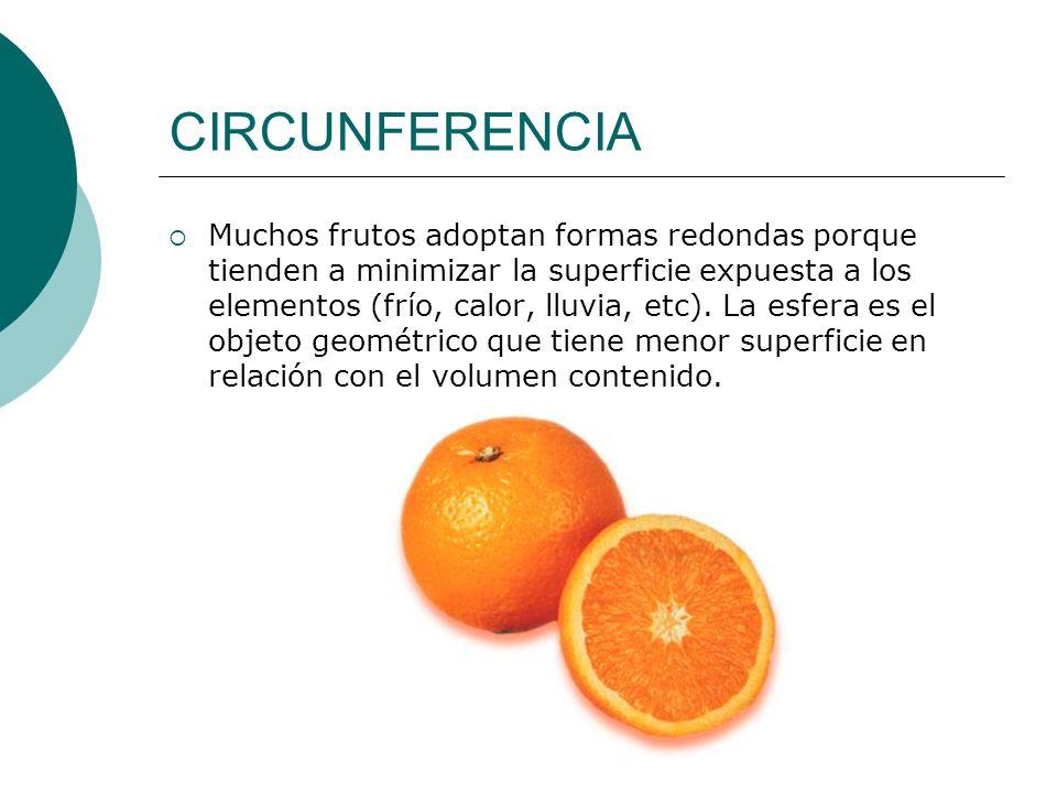 CIRCUNFERENCIA Muchos frutos adoptan formas redondas porque tienden a minimizar la superficie expuesta a los elementos (frío, calor, lluvia, etc). La