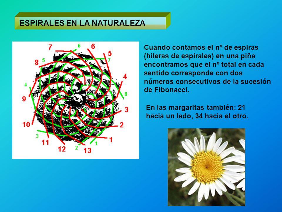 ESPIRALES EN LA NATURALEZA Cuando contamos el nº de espiras (hileras de espirales) en una piña encontramos que el nº total en cada sentido corresponde