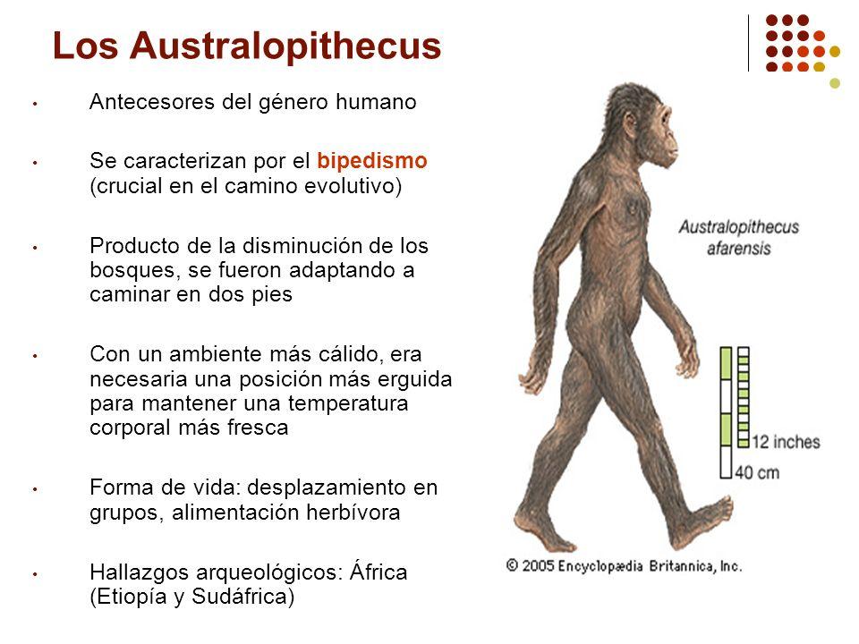 Los Australopithecus Antecesores del género humano Se caracterizan por el bipedismo (crucial en el camino evolutivo) Producto de la disminución de los