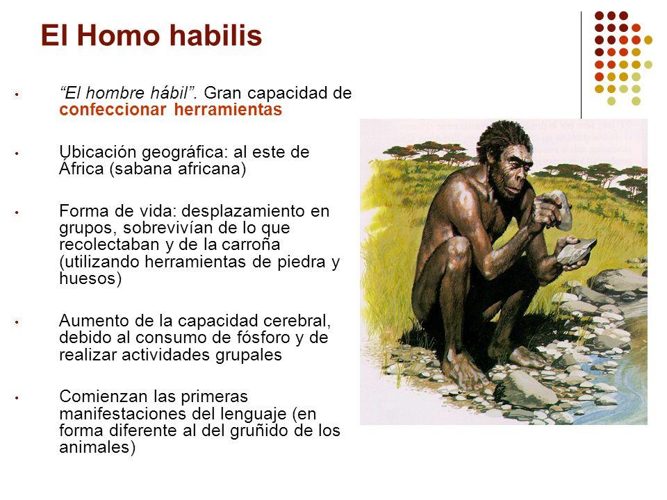 El Homo habilis El hombre hábil. Gran capacidad de confeccionar herramientas Ubicación geográfica: al este de África (sabana africana) Forma de vida:
