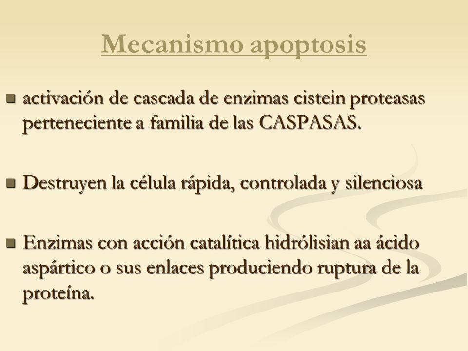 Mecanismo apoptosis activación de cascada de enzimas cistein proteasas perteneciente a familia de las CASPASAS. activación de cascada de enzimas ciste
