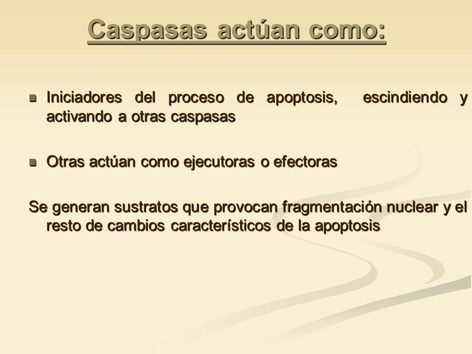 Caspasas actúan como: Iniciadores del proceso de apoptosis, escindiendo y activando a otras caspasas Iniciadores del proceso de apoptosis, escindiendo