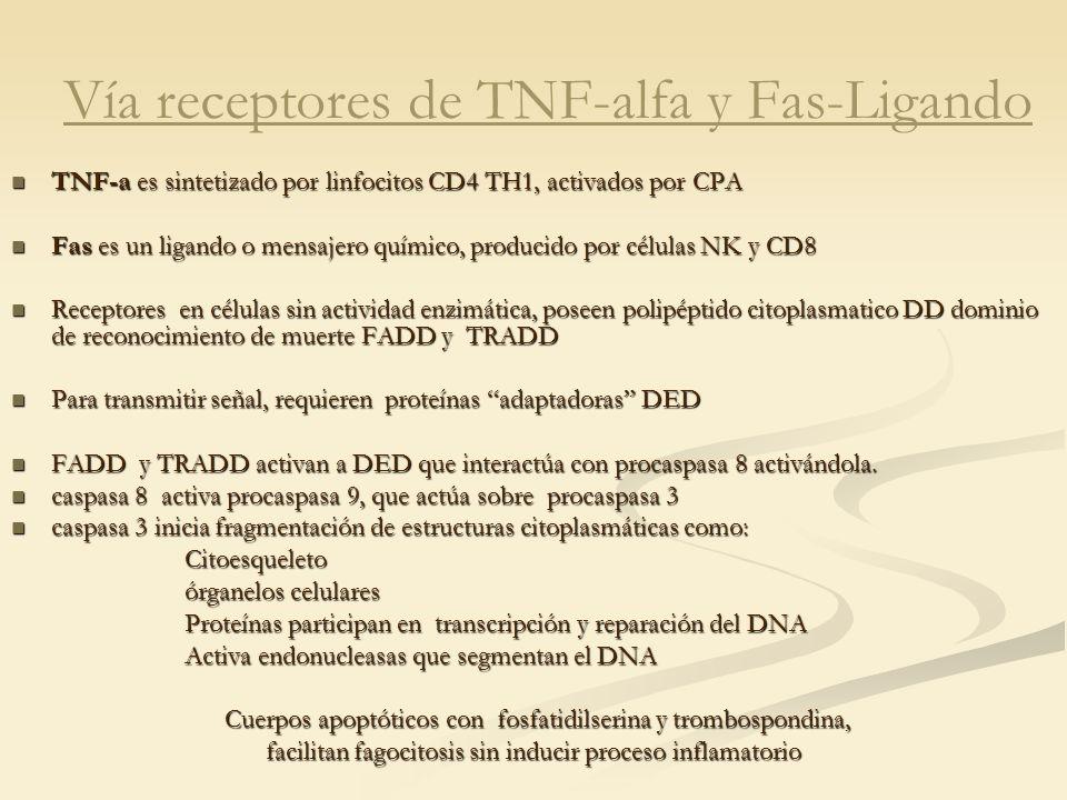 Vía receptores de TNF-alfa y Fas-Ligando TNF-a es sintetizado por linfocitos CD4 TH1, activados por CPA TNF-a es sintetizado por linfocitos CD4 TH1, a