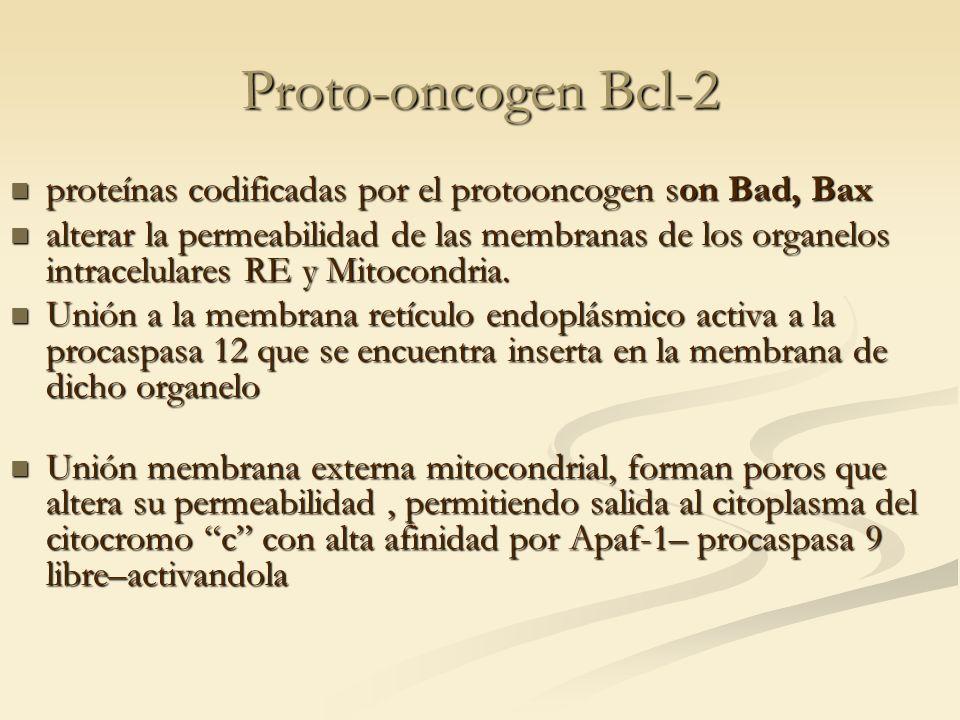 Proto-oncogen Bcl-2 proteínas codificadas por el protooncogen son Bad, Bax proteínas codificadas por el protooncogen son Bad, Bax alterar la permeabil