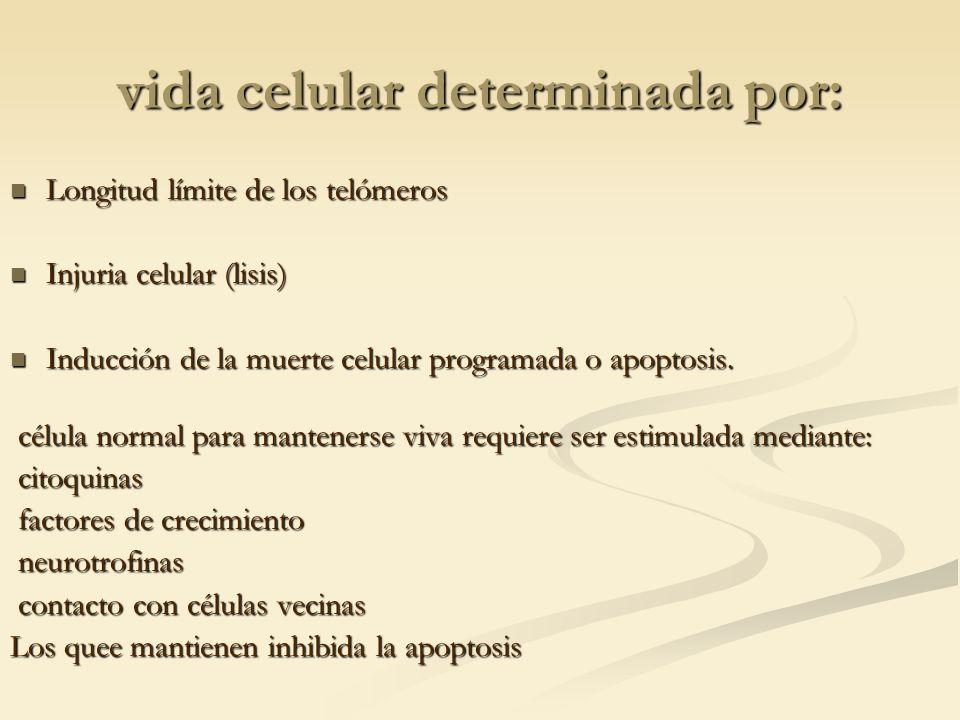 vida celular determinada por: Longitud límite de los telómeros Longitud límite de los telómeros Injuria celular (lisis) Injuria celular (lisis) Inducc