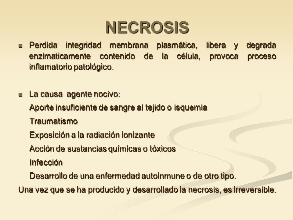 NECROSIS Perdida integridad membrana plasmática, libera y degrada enzimaticamente contenido de la célula, provoca proceso inflamatorio patológico. Per