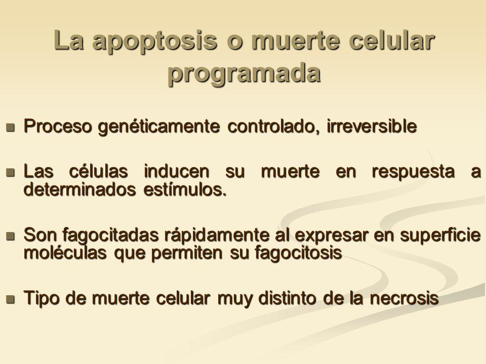 La apoptosis o muerte celular programada Proceso genéticamente controlado, irreversible Proceso genéticamente controlado, irreversible Las células ind