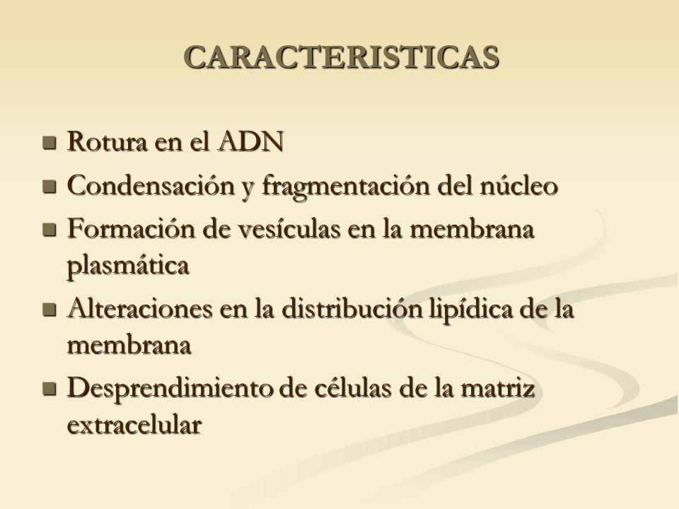 CARACTERISTICAS Rotura en el ADN Rotura en el ADN Condensación y fragmentación del núcleo Condensación y fragmentación del núcleo Formación de vesícul
