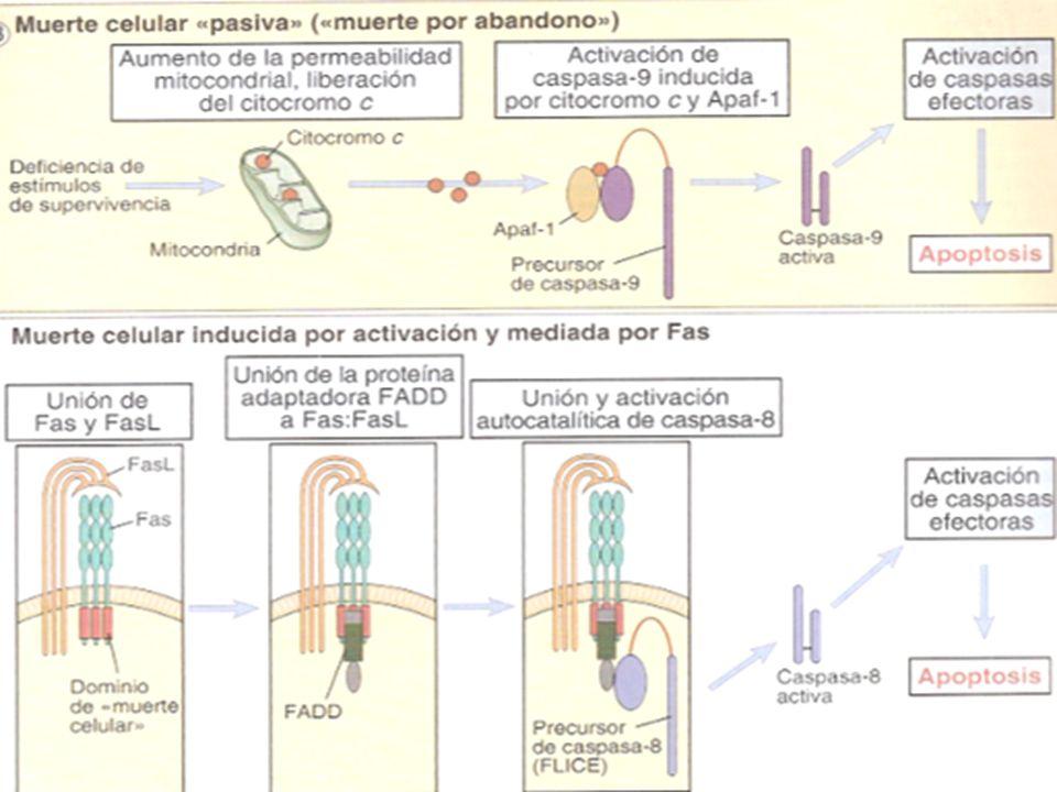 Resumen Procaspasas inducen apoptosis por cuatro vías: Vía procaspasa 8 estímulos externos transportados por mensajeros químicos como TNF-a y Fas-L a través de los DD y por estímulos internos (daño al DNA irreversible) a través de la proteína p53, ambos activan a la procaspasa 8.