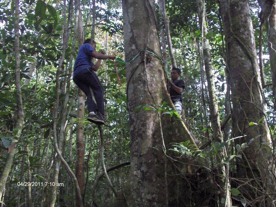 REGIONAL VAUPES T.P en manejo y aprovechamiento de bosques naturales REGIONAL VAUPES
