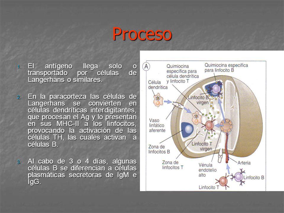 Proceso 1. El antígeno llega solo o transportado por células de Langerhans o similares. 2. En la paracorteza las células de Langerhans se convierten e