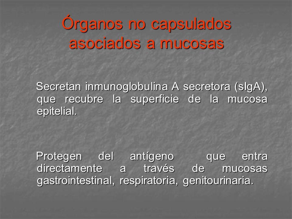 Órganos no capsulados asociados a mucosas Secretan inmunoglobulina A secretora (sIgA), que recubre la superficie de la mucosa epitelial. Secretan inmu