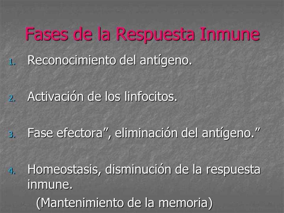 Fases de la Respuesta Inmune 1. Reconocimiento del antígeno. 2. Activación de los linfocitos. 3. Fase efectora, eliminación del antígeno. 4. Homeostas