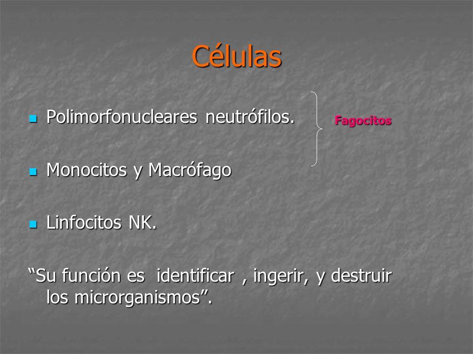 Células Polimorfonucleares neutrófilos. Polimorfonucleares neutrófilos. Monocitos y Macrófago Monocitos y Macrófago Linfocitos NK. Linfocitos NK. Su f
