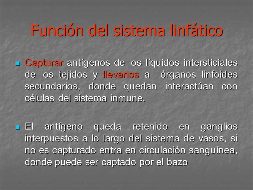 Función del sistema linfático Capturar antígenos de los líquidos intersticiales de los tejidos y llevarlos a órganos linfoides secundarios, donde qued