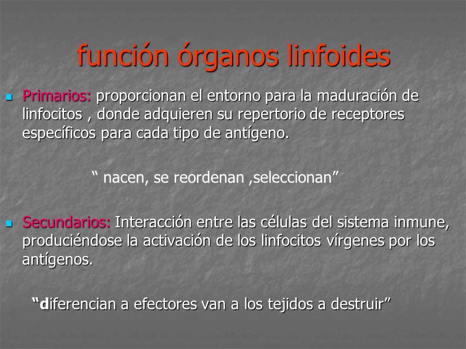función órganos linfoides Primarios: proporcionan el entorno para la maduración de linfocitos, donde adquieren su repertorio de receptores específicos