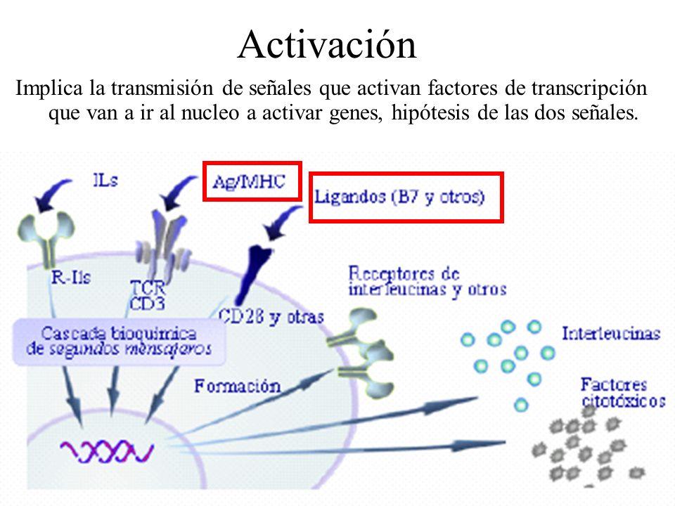Activación Implica la transmisión de señales que activan factores de transcripción que van a ir al nucleo a activar genes, hipótesis de las dos señale