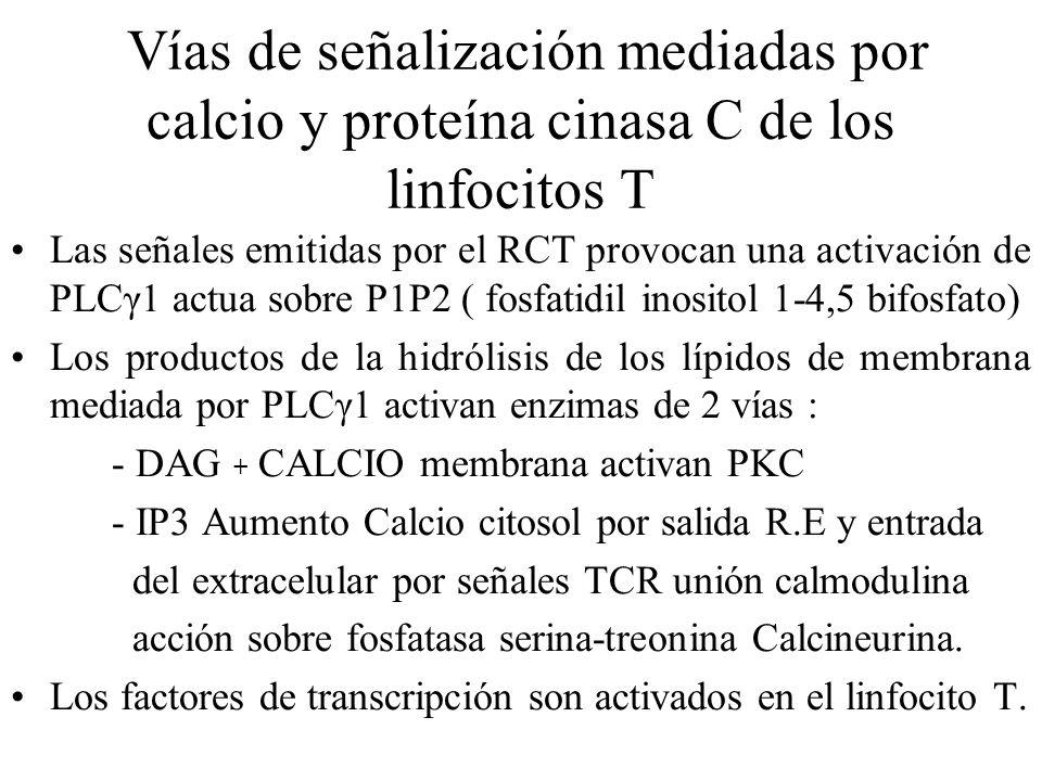 Vías de señalización mediadas por calcio y proteína cinasa C de los linfocitos T Las señales emitidas por el RCT provocan una activación de PLCγ1 actu
