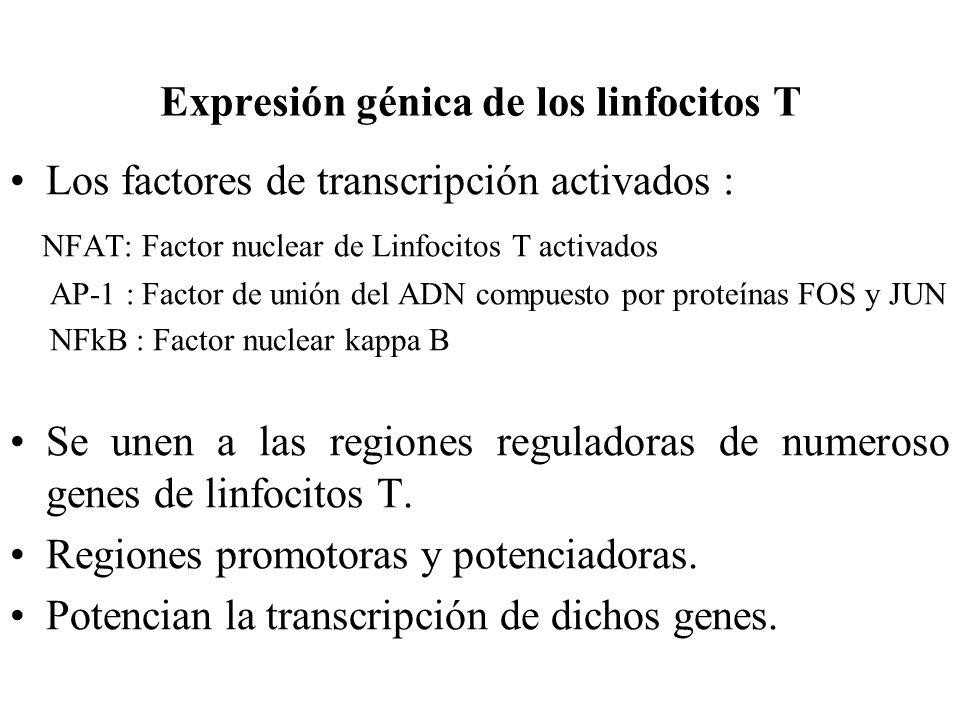 Expresión génica de los linfocitos T Los factores de transcripción activados : NFAT: Factor nuclear de Linfocitos T activados AP-1 : Factor de unión d