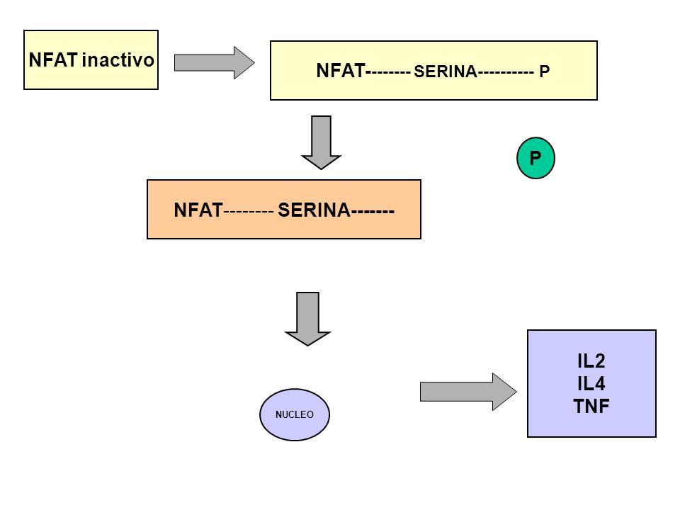 IL2 IL4 TNF NFAT inactivo NFAT- ------- SERINA---------- P NFAT-------- SERINA------- P NUCLEO