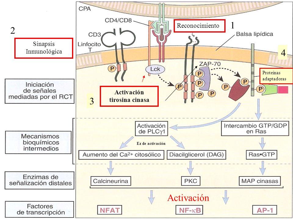 Las señales transmitidas por el receptor antigénico activan coordinadamente varias vías bioquímicas importantes, siendo las más importantes: RAS (RAC) MAP cinasa Proteína cinasa C (PKC)- DAG Calcio-calcineurina (IP3) Las enzimas de estas vias llevan a la activación de de transcripción que regulan la expresión génica de los LT.