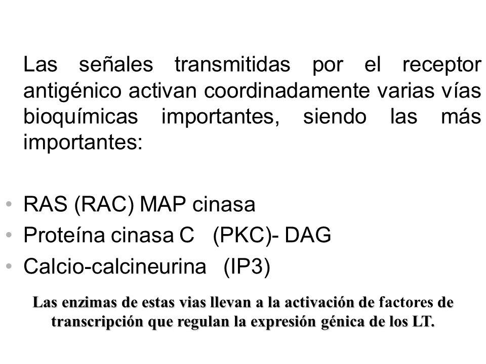 Las señales transmitidas por el receptor antigénico activan coordinadamente varias vías bioquímicas importantes, siendo las más importantes: RAS (RAC)