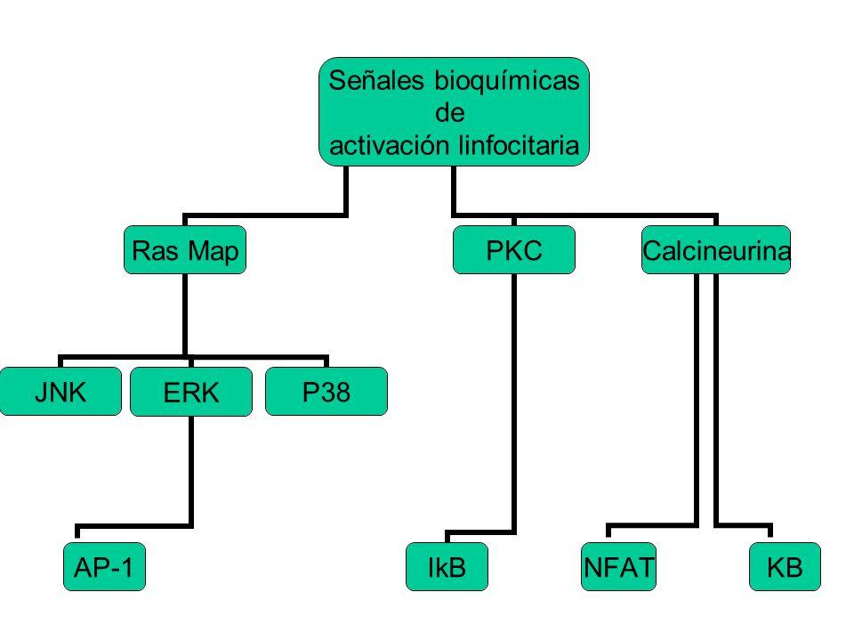 Señales bioquímicas de activación linfocitaria Calcineurina KB AP-1 NFAT PKC IkB Ras Map P38 ERK JNK