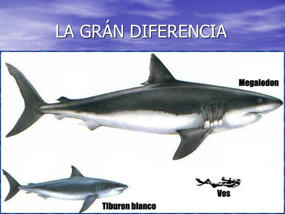 ATAQUES DE TIBURÓN ATAQUES DE TIBURÓN El ataque de un tiburón es muy eficaz, pero donde más efectivo y doloroso para su presa, es en el costado, izquierdo o derecho, da igual cual sea.