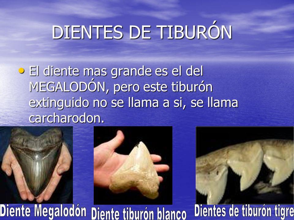 LOS MÁS RAROS LOS MÁS RAROS El tiburón peregrino es parecido al tiburón ballena, en cambio es unos metros más chico.