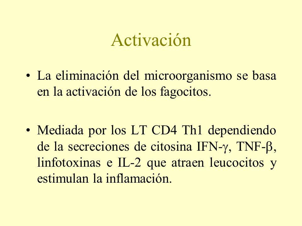 Activación La eliminación del microorganismo se basa en la activación de los fagocitos. Mediada por los LT CD4 Th1 dependiendo de la secreciones de ci