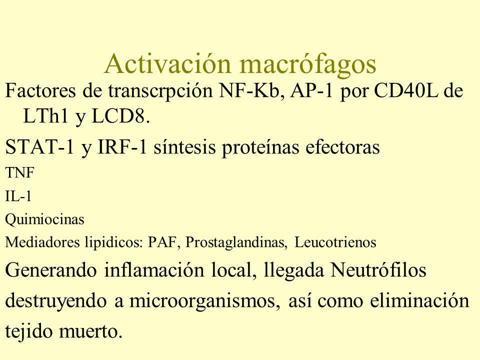 Activación macrófagos Factores de transcrpción NF-Kb, AP-1 por CD40L de LTh1 y LCD8. STAT-1 y IRF-1 síntesis proteínas efectoras TNF IL-1 Quimiocinas