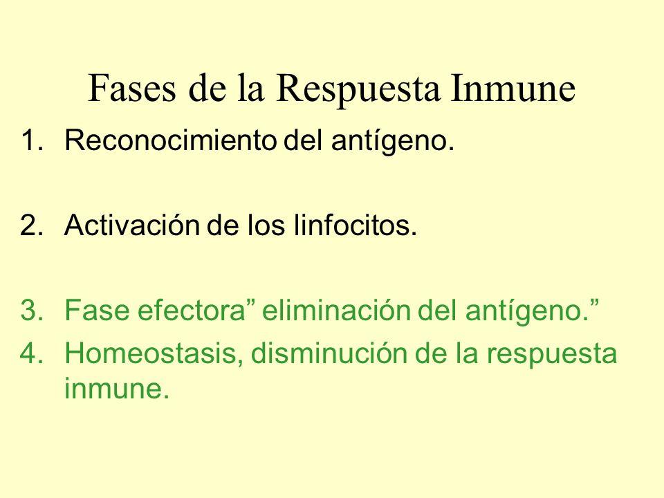 Fases de la Respuesta Inmune 1.Reconocimiento del antígeno. 2.Activación de los linfocitos. 3.Fase efectora eliminación del antígeno. 4.Homeostasis, d