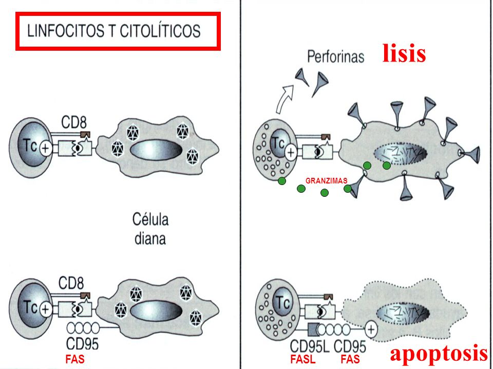 lisis apoptosis FASLFAS GRANZIMAS FAS