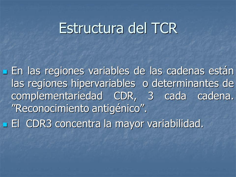 Estructura del TCR En las regiones variables de las cadenas están las regiones hipervariables o determinantes de complementariedad CDR, 3 cada cadena.