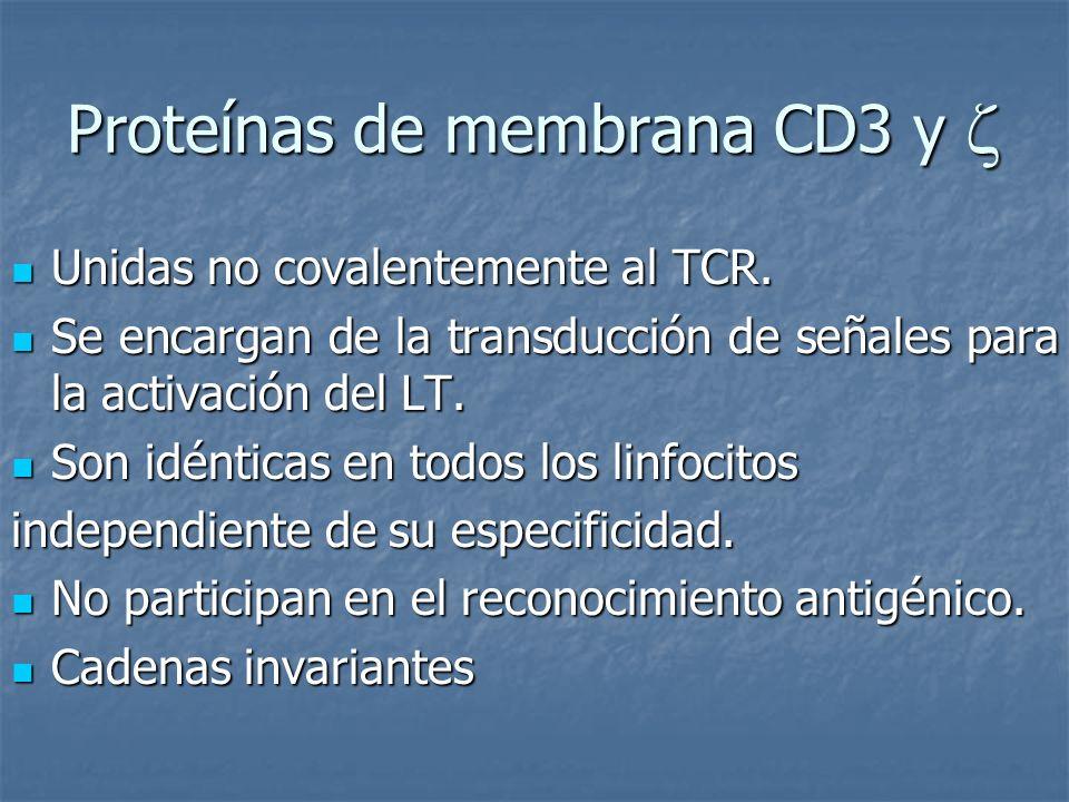 Proteínas de membrana CD3 y Proteínas de membrana CD3 y Unidas no covalentemente al TCR. Unidas no covalentemente al TCR. Se encargan de la transducci