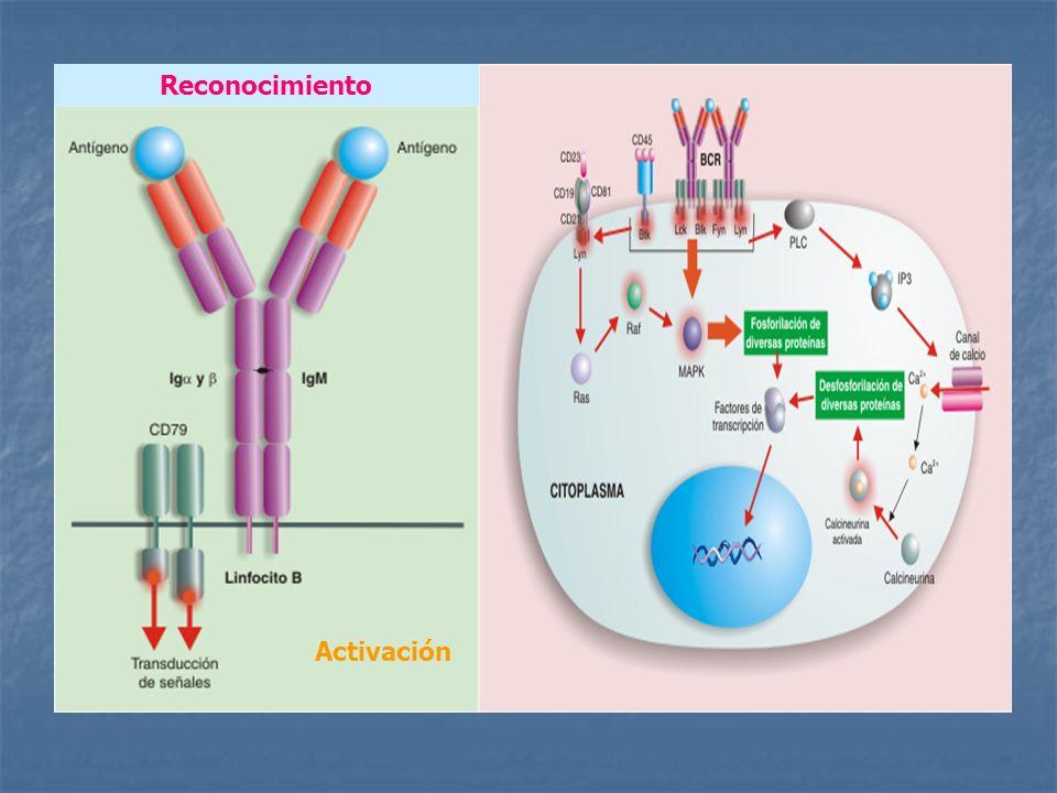 CTLA-4 o CD152 Expresado en linfocitos recién activados.