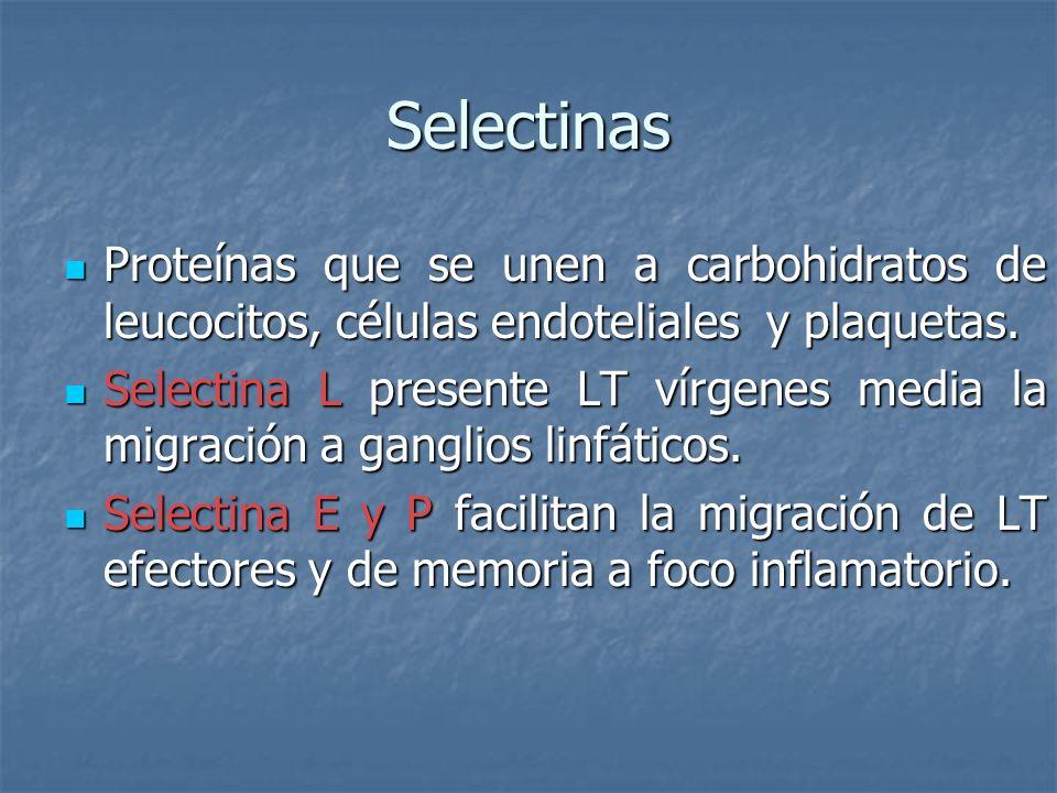 Selectinas Proteínas que se unen a carbohidratos de leucocitos, células endoteliales y plaquetas. Proteínas que se unen a carbohidratos de leucocitos,