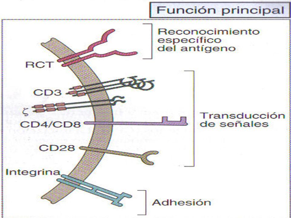 Moléculas accesorias LT Proteínas integrales de membrana.
