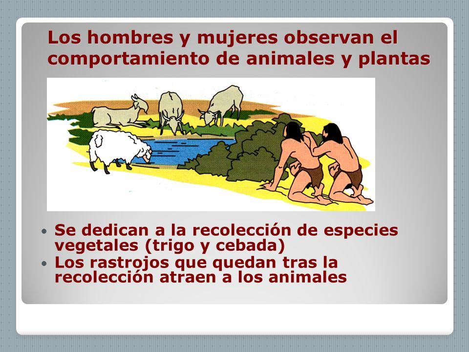 Los hombres y mujeres observan el comportamiento de animales y plantas Se dedican a la recolección de especies vegetales (trigo y cebada) Los rastrojo
