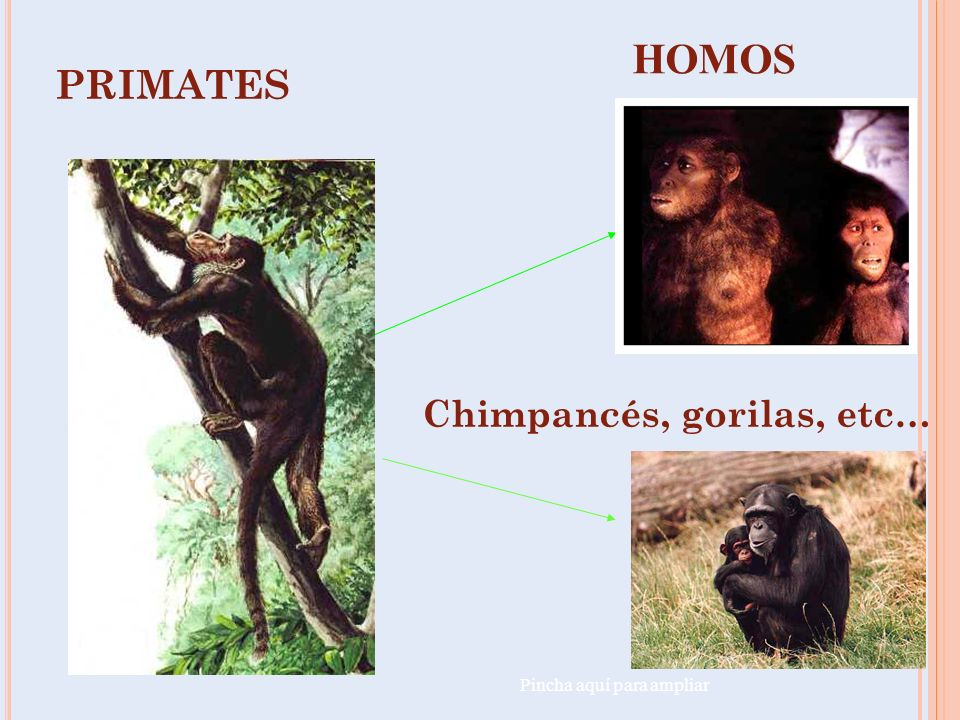 EVOLUCIÓN BIPEDISMO Vídeo evolución PRIMATE MONO, CHIMPANCE, GORILA. HOMÍNIDOS HOMBRE ACTUAL